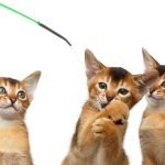 Interactive cat toys and Abyssinian litter of four kittens