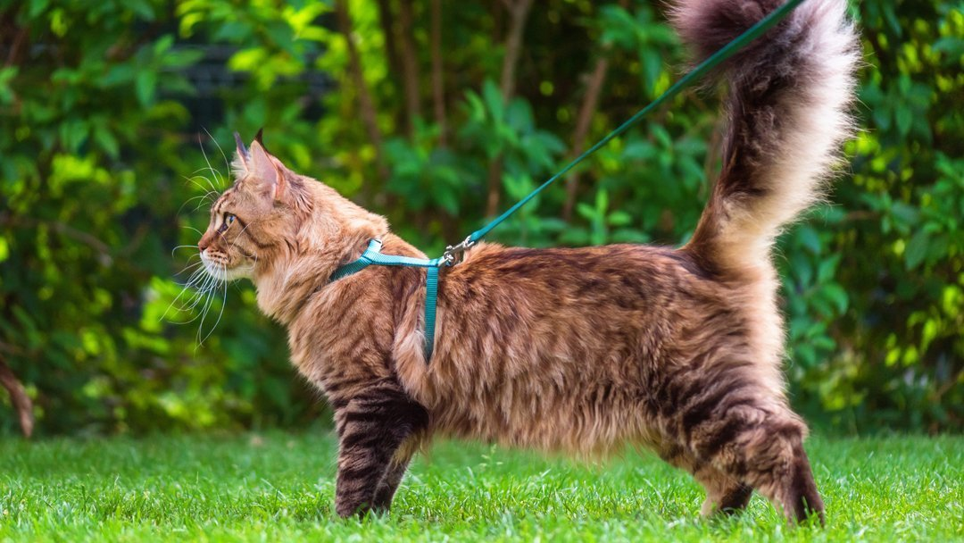 Maine Coon cat in a harness