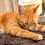 how to stop cats scratching your carpet