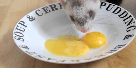 Can Ferrets Eat Eggs?