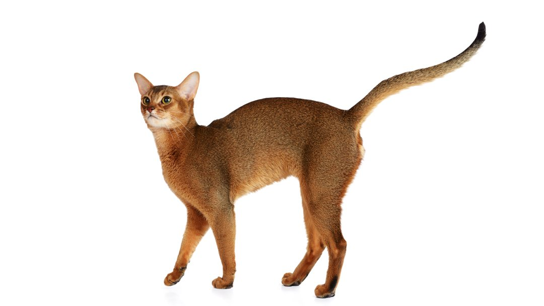 Abyssinian – The Champion