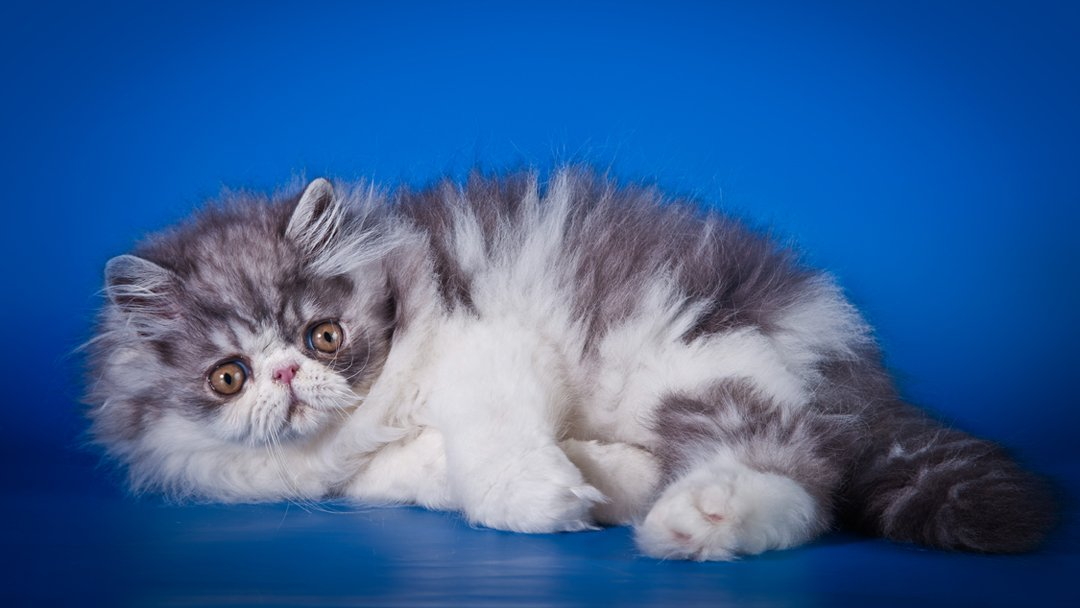 Persian – The Cutest of Cats