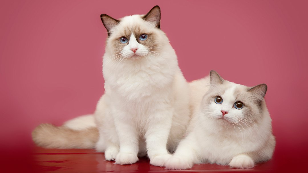 Ragdoll – The Doll Cat