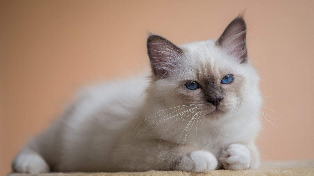 Birman – The Sacred Cat